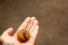 Chestnut Fruits With Skin In Spikes In The Open Palm Of A Woman. The Background Is Blurry. Horizontal Orientation. Warm Tone