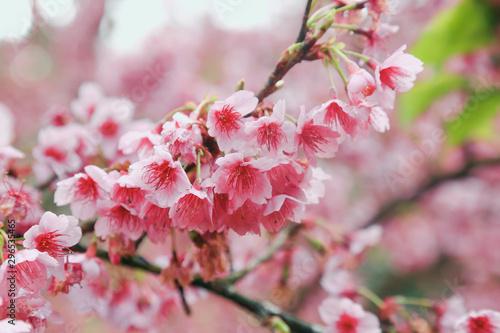 Vintage sakura or cherry blossom