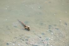 Mudskipper Life Mongrove Fores...