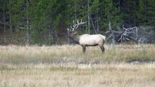 Side View Of An Elk Stag Stand...