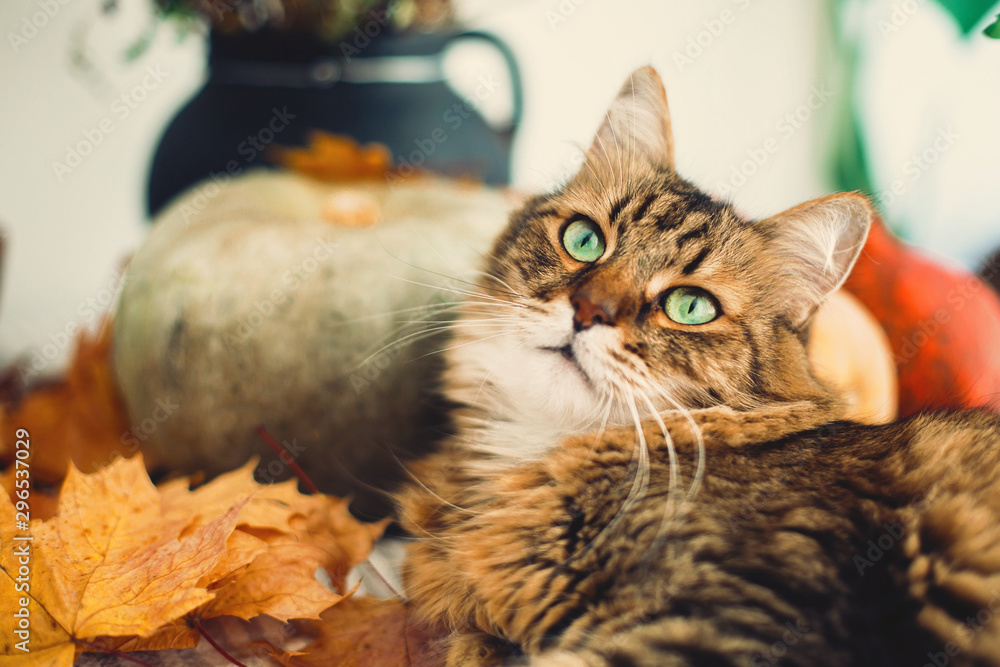 Maine coon with funny green eyes playing with yellow leaves. Cute tabby cat lying on rustic table with autumn leaves and pumpkins. Thanksgiving or Halloween concept. Pet and holidays.