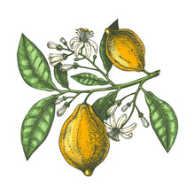 Hand Drawn Citrus Fruits - Lemon Branch. Vector Sketch Of Highly Detailed Lemons Tree With Leaves, Fruits And Flowers Sketches. Watercolor Style Citrus Plants Illustration.