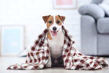 Beautiful Jack Russell Terrier Dog With Plaid Sitting At Home