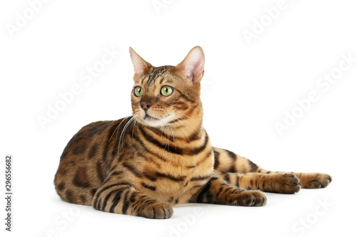La pose en embrasure Chat Beautiful brown cat isolated on white background