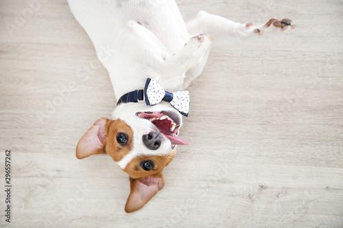 Fototapeta Beautiful Jack Russell Terrier dog lying on the floor obraz