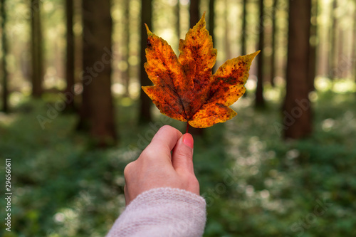Fotografering  Female with a cozy knitted sweater hand holding a colorful autumn tree leaf on a forest background