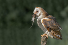 Beautiful Barn Owl (Tyto Alba)...
