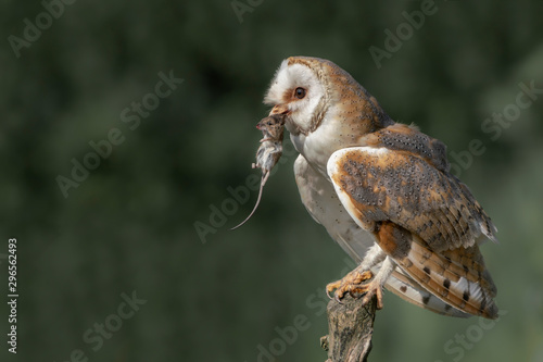 Obraz Beautiful Barn owl (Tyto alba) with a mouse prey sitting on a branch. Bokeh background. Noord Brabant in the Netherlands. Writing space. - fototapety do salonu