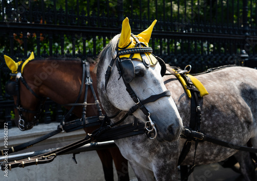 Valokuvatapetti hackney carriages in Vienna horses with yellow ear horns