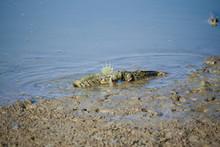 Beautiful Action Of Mudskipper Fish In Mangrove Forest. Amphibious Fish.