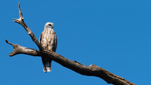 A Fledgling Mississippi Kite Perched On A Branch With Blue Sky.