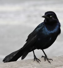 Male Boat Tailed Grackle Perched