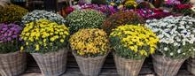 Variety Of Chrysanthemum Plant...