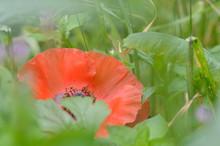 A Delicate Red Field Poppy Flower (Papaver Rhoeas) Hidden Amongst Hazy Green Foliage. Soft Focus.