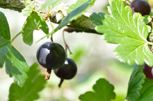 Close Up Of Black Gooseberries...