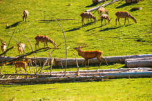 A Stag Walks Among The Does Of His Herd