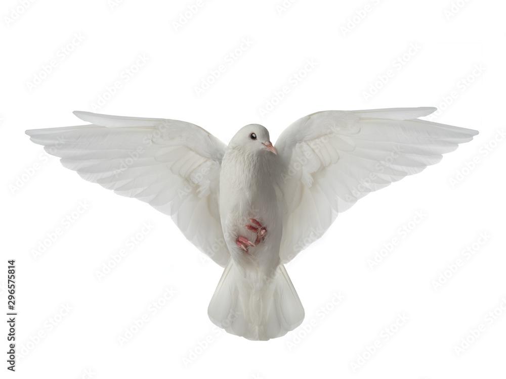 White dove in flight on a white