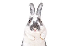 Portrait Of A Funny Rabbit, Closeup, Isolated On A White Background