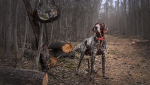 Hunting Dog Deutsch Drahthaar ...