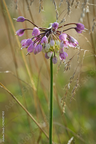 Fotografiet Blossom of nodding wild onion (Allium cernuum) among meadow grasses along Appala