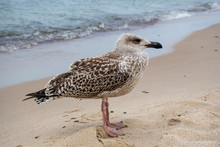 Grown Chick, Herring Young Sea Gull Standing On The Sandy Beach, Close Up