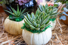 Succulents Potted In Pumpkins ...