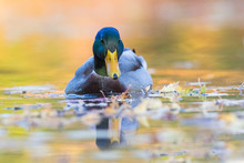 Mallard Drake Portrait In Autumn