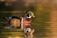 Beautiful Wood Duck Drake In A...