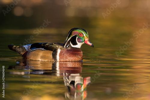 Photo Beautiful Wood duck drake in autumn