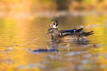 Wood Duck Pair In Autumn