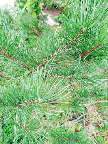 Close-up of a green spruce branch in a macro, needles covered with fresh dew on a background of green trees and plants in the afternoon in the Altai mountains Canvas Print