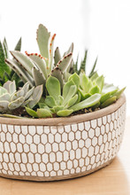 Potted Succulents In Planter
