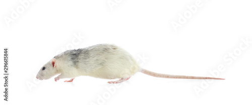Cute rat on white background. Small rodent - 296615844