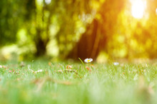 Little Daisy In The Lawn Grass. Delicate Spring Background With Shades Of Green And Yellow