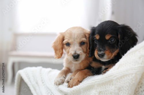 Cute English Cocker Spaniel puppies on sofa indoors. Space for text - 296617264