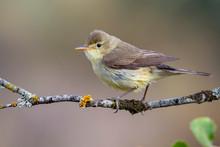 Melodious Warbler (Hippolais P...