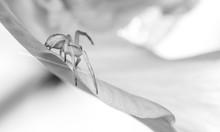 Crab Spider ( Misumena Vatia)