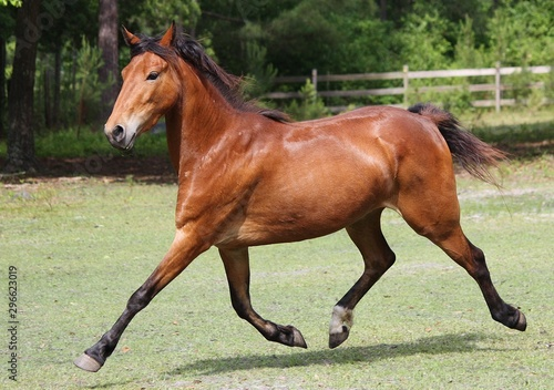 hackney pony extended trot Canvas Print