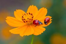 Ladybird On An Orange Flower