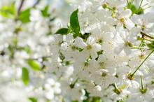 Cherry Tree Blossoms. White Sp...