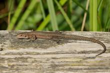 A Common Lizard, Zootoca Vivip...