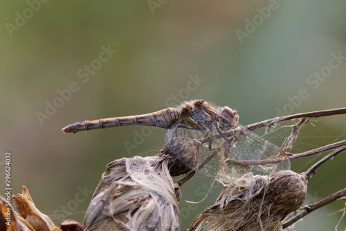 Valokuvatapetti Common Darter dragonfly, Sympetrum striolatum, resting in the autumn sunshine