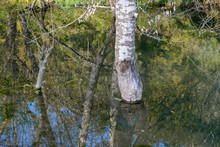 Tree In Water, Only Trunk Visi...