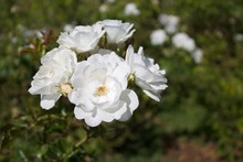 Cluster Of White Roses Blooming