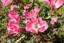 Fully Open Pink Roses In Garden Tea Roses