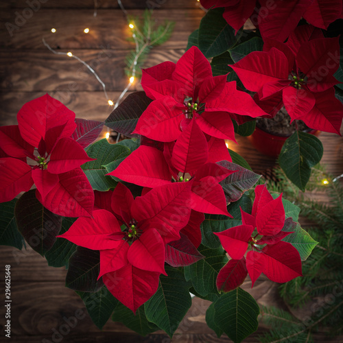 Carta da parati  Christmas mystic Red Poinsettia macro on wooden background with sparkling garlan