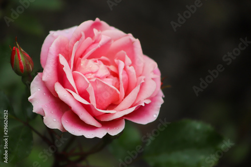 Pink rose closeup after summer rain shower