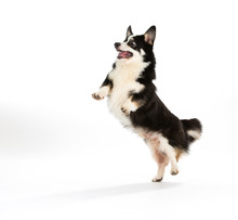 Funny Dog Jumping, Isolated On...