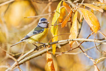 Eurasian Blue Tit Sitting Among Yellow Leaves