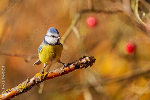 blue tit in an orange forest